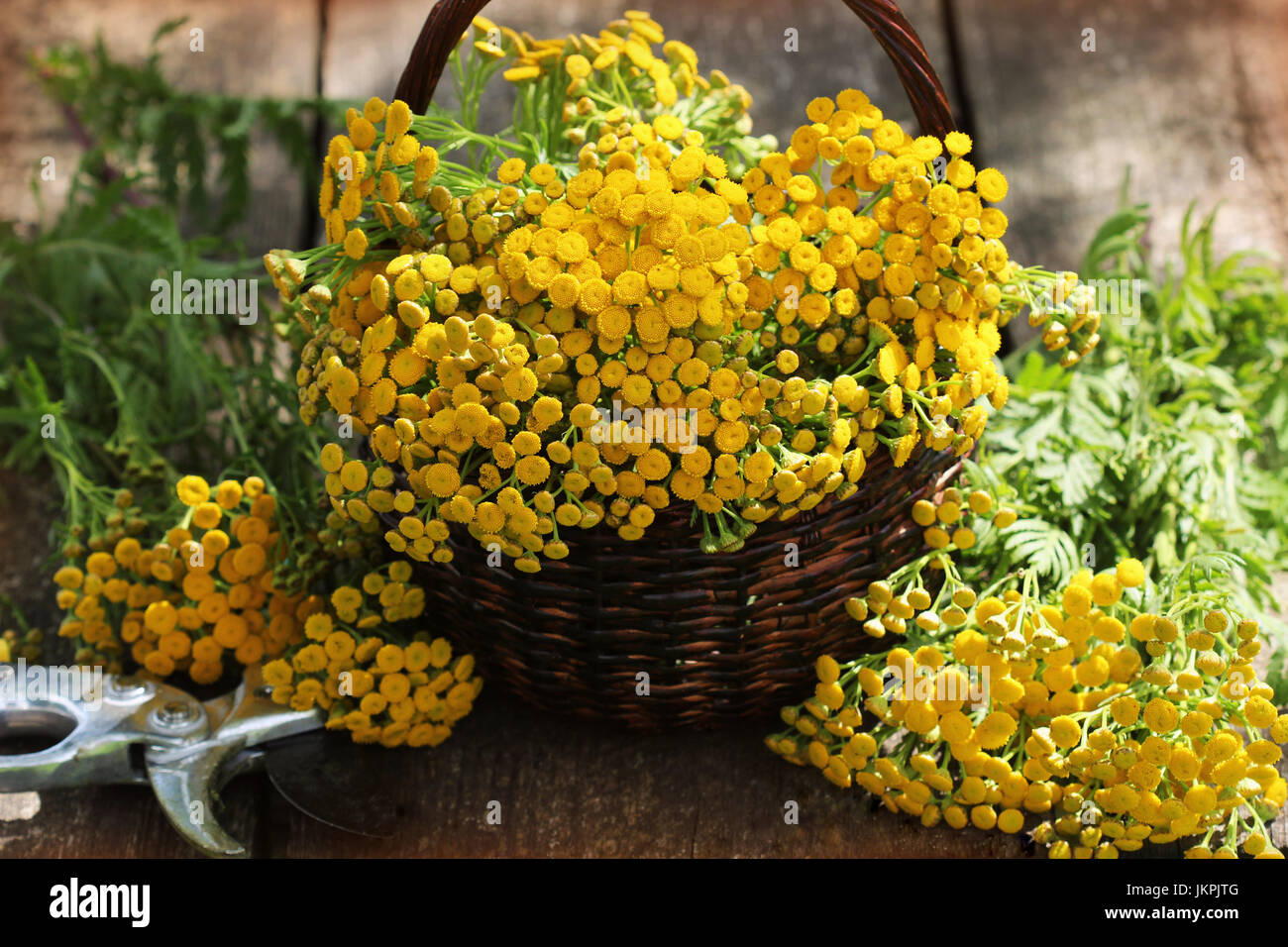 Tansy Tanacetum - perennial herbaceous plants Compositae Asteraceae . Herbs harvesting of medicinal raw materials - Stock Image