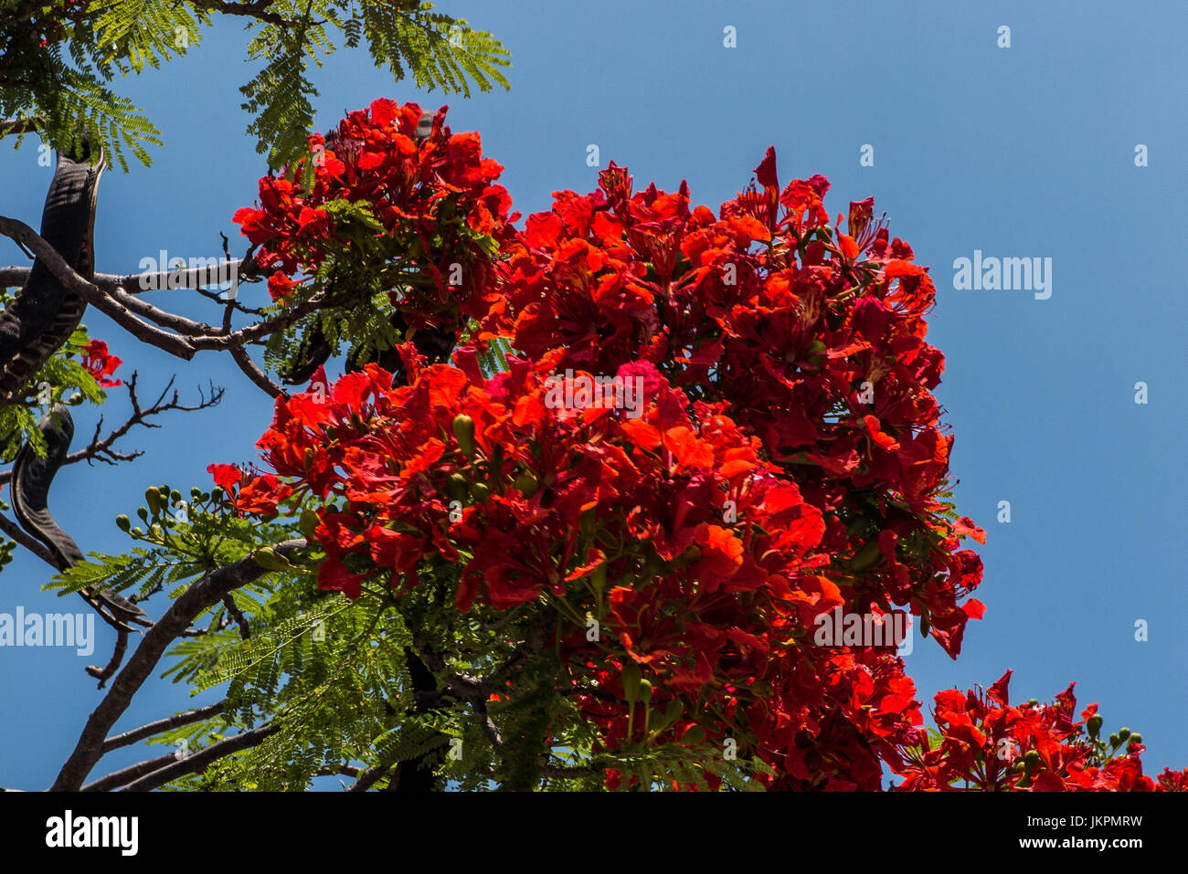 Red Flamboyant tree Sapa Valley northern Vietnam - Stock Image