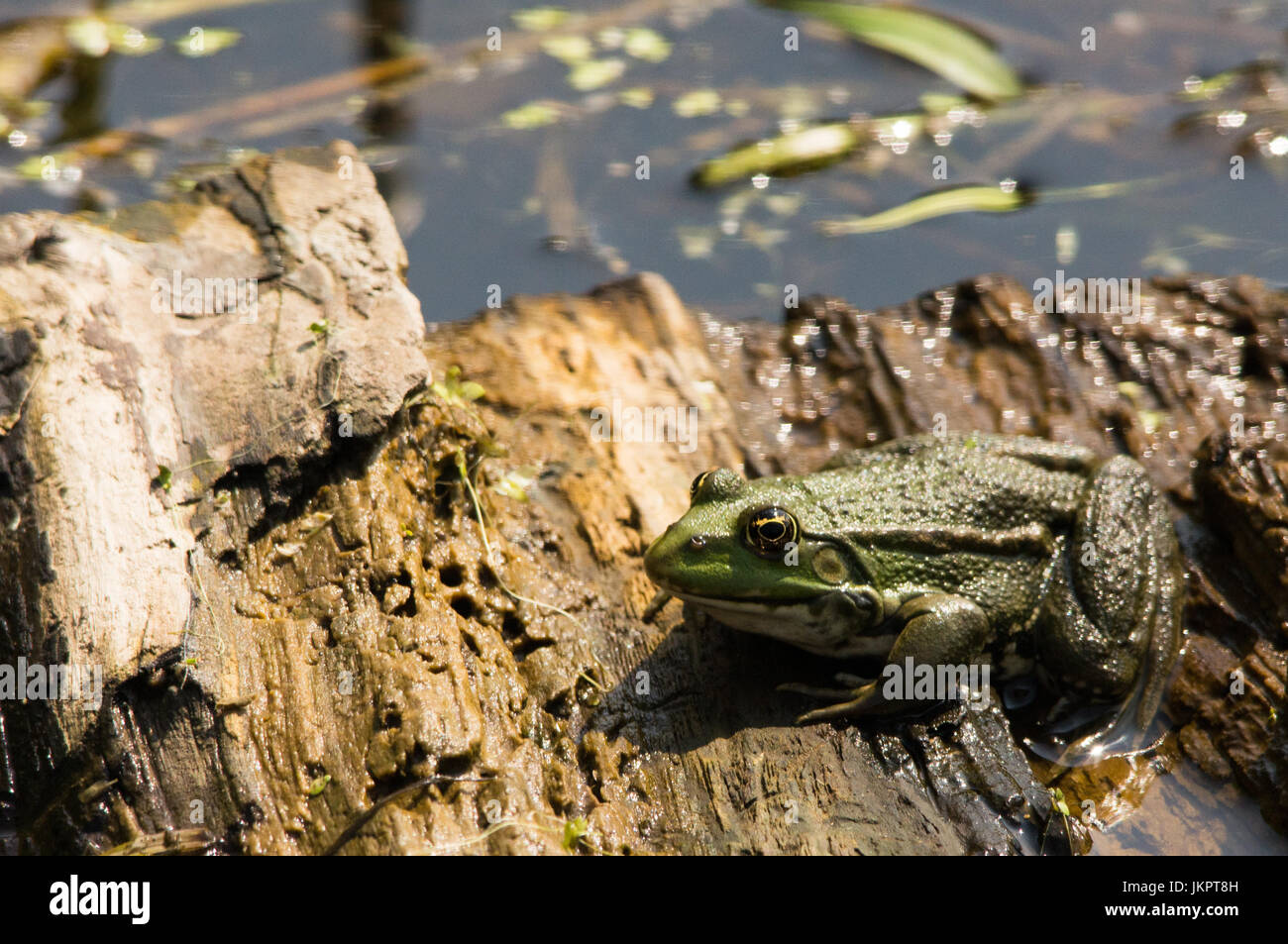 Common Frog, Sat on a log in a pond. UK - Stock Image