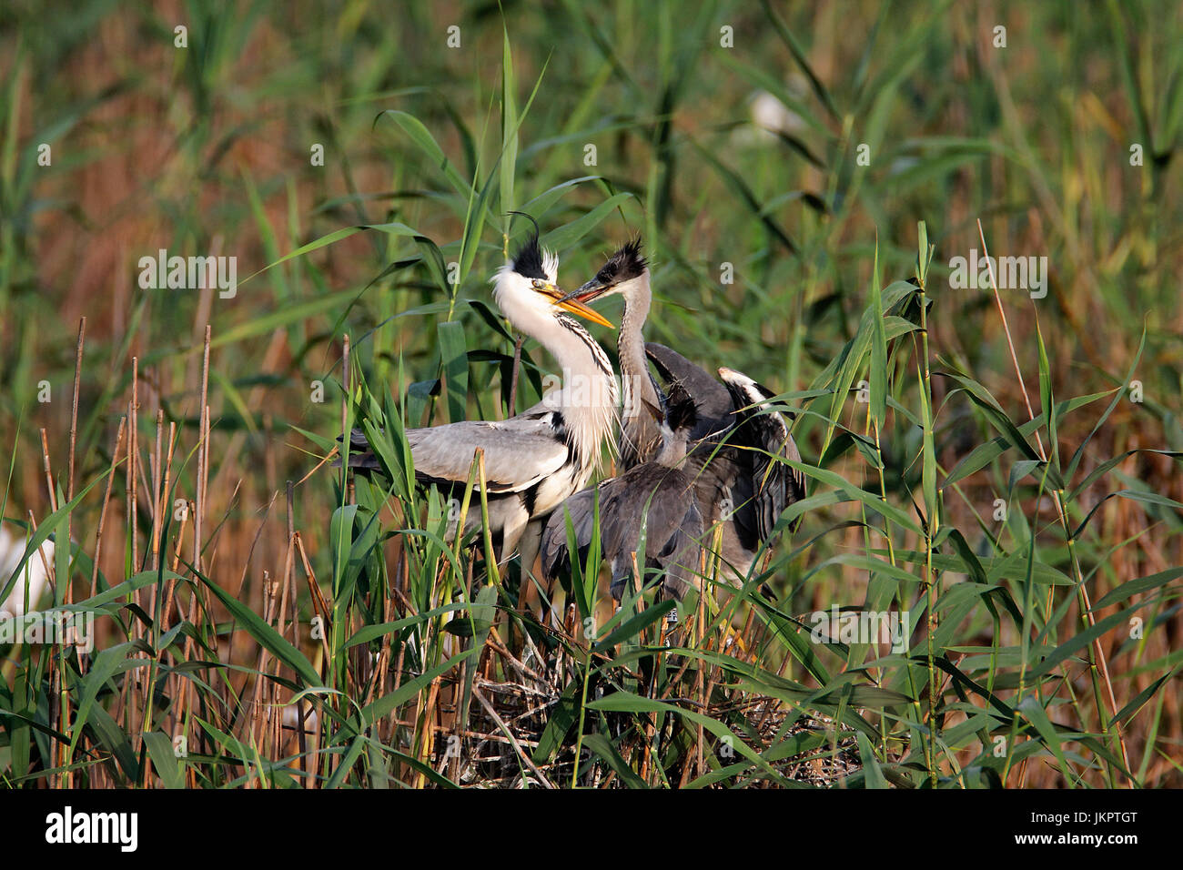 The grey heron nesting in bird colony in Lonjsko polje, Croatia Stock Photo