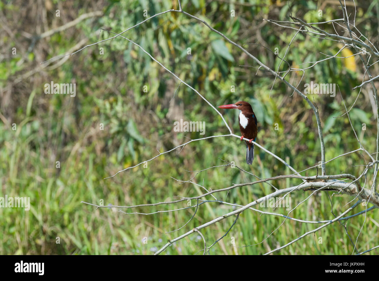 White-Throated Kingfisher (Halcyon smyrnensis smyrnensis) on a branch, Chitwan National Park, Nepal - Stock Image