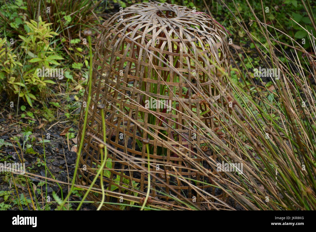 Open weaved domed reed basket protecting planted shrub from foxes deers wildlife in border of established mature - Stock Image