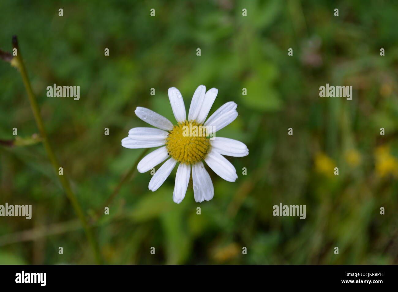 Close up of single white flower daisy with yellow head yellowhead close up of single white flower daisy with yellow head yellowhead bloom asymmetrical petals representing purity innocence childhood and cleanliness mightylinksfo