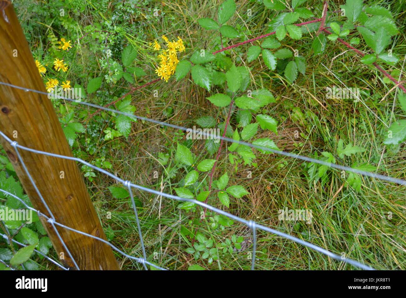 Stock fence fencing with post upright in overgrown mature wild garden with thorns wild flowers and long grass in - Stock Image