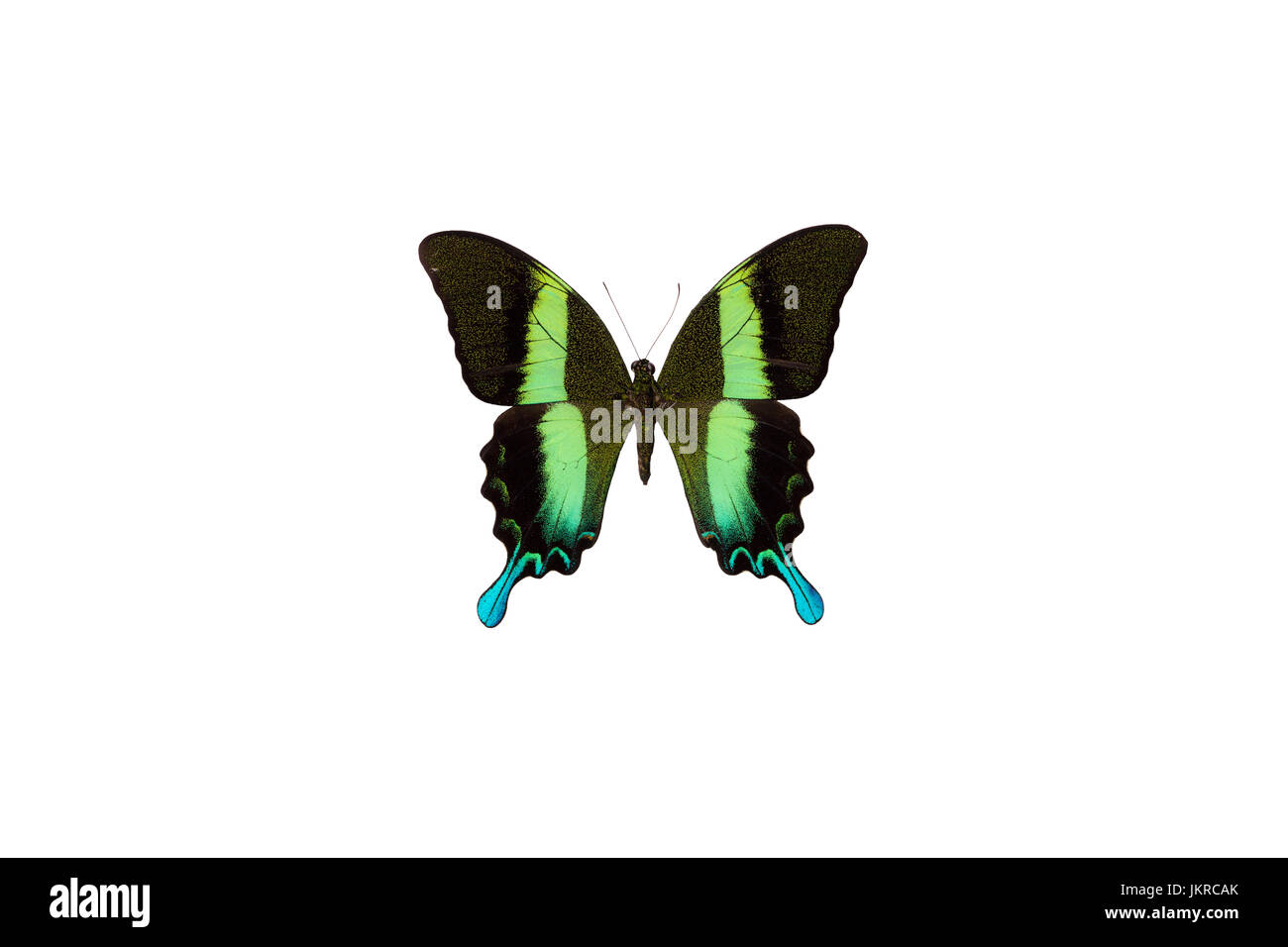 A green swallowtail (Papilio blumei) caught from Ceram island, Indonesia Stock Photo