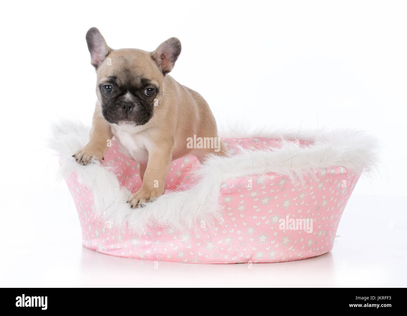french bulldog puppy in a cute pink dog bed on white background - Stock Image