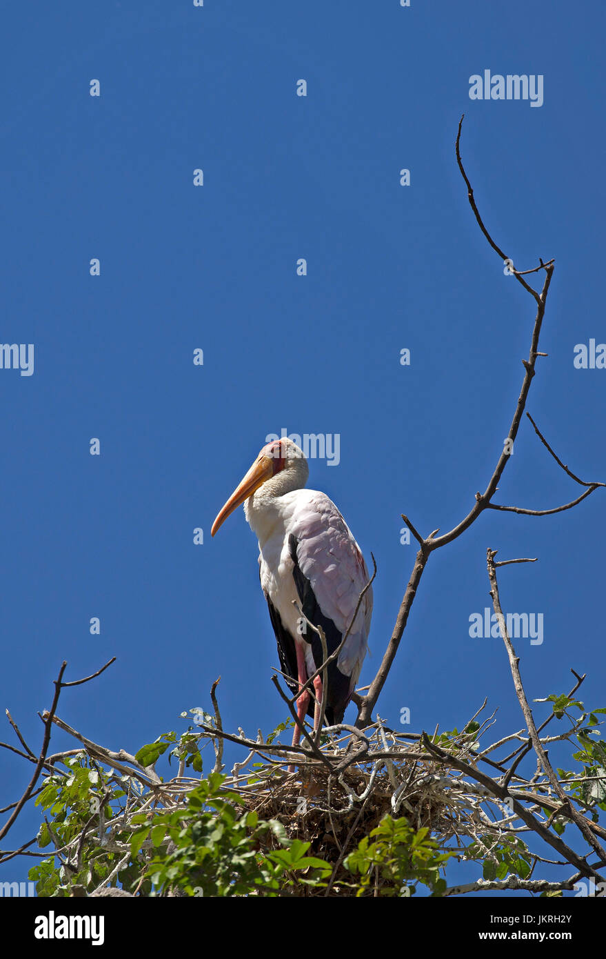 White stork taken in Manyara lake reserve - Stock Image