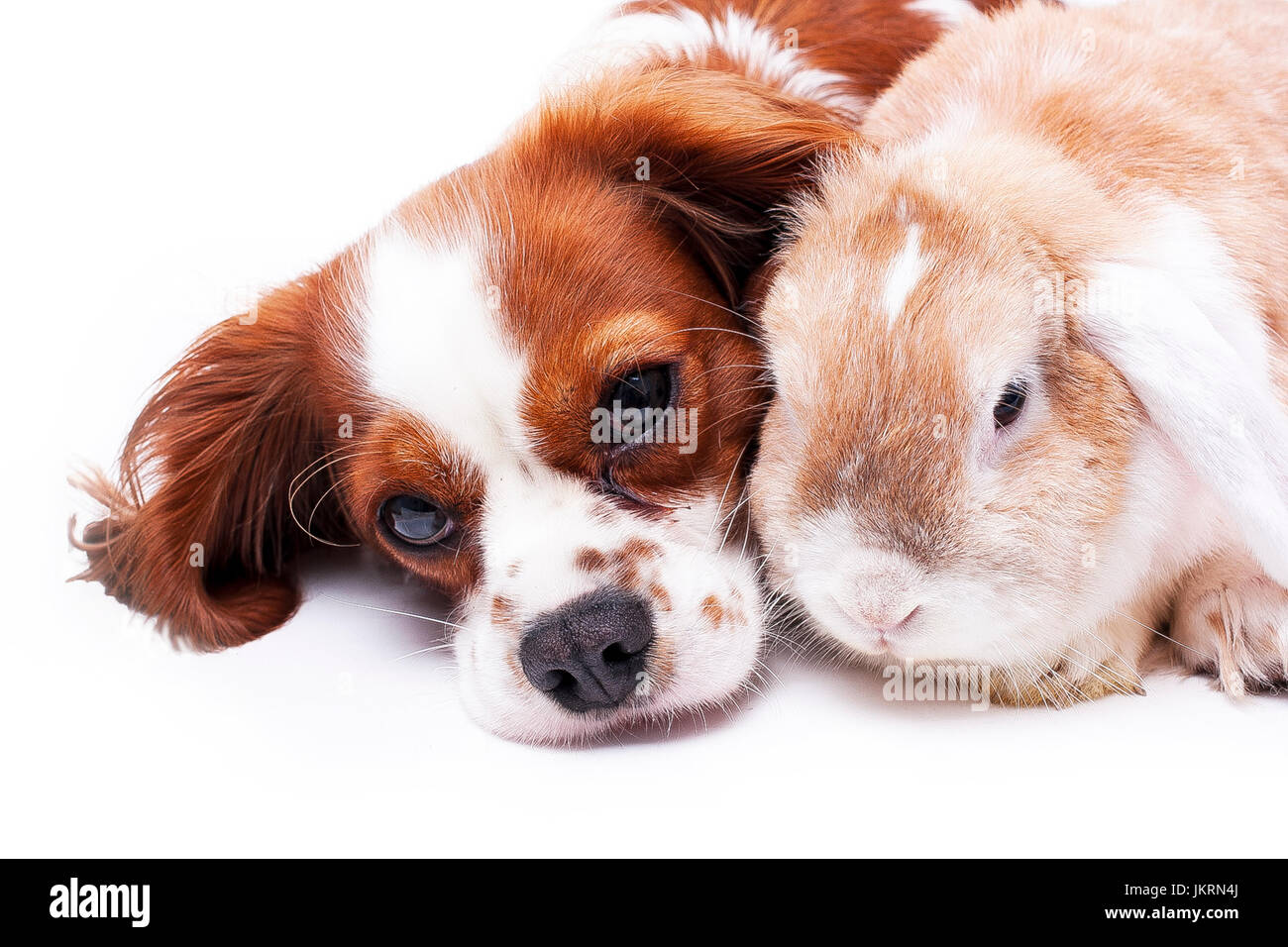 Animal friends. Pet enemies or real friendship can be true? Dog and lop bunny rabbit together. Cavalier king charles - Stock Image