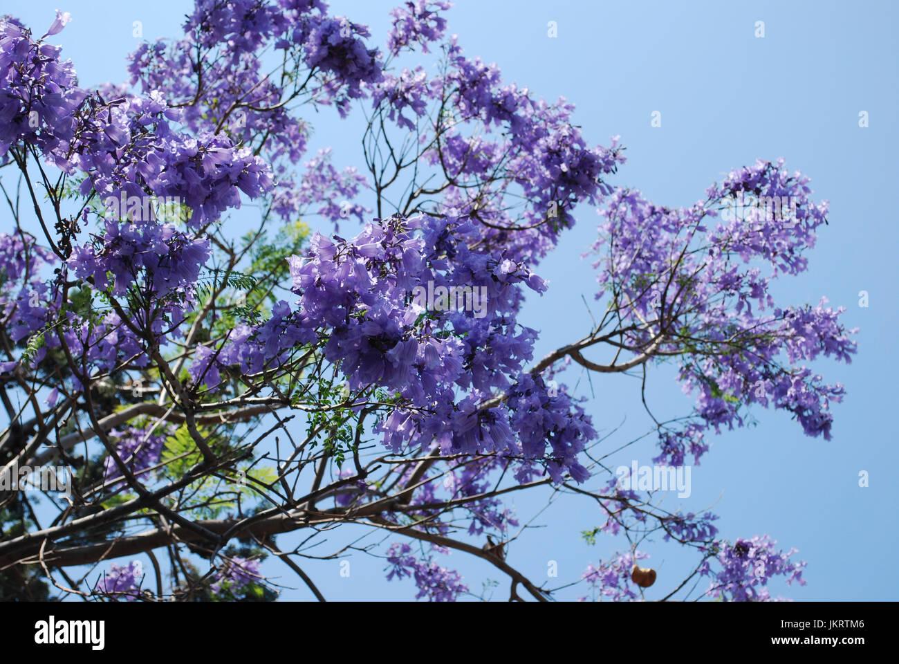 Jacaranda mimosifolia trees blue flowers blossom stock photo jacaranda mimosifolia trees blue flowers blossom izmirmasajfo