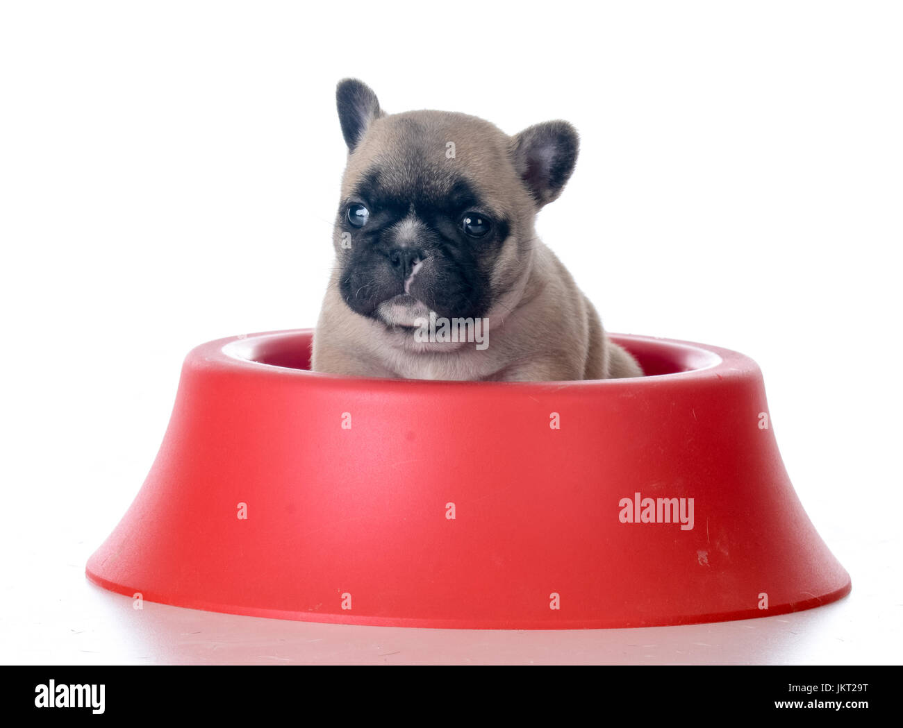 Cute French Bulldog Puppy Sitting In A Food Bowl On White Background Stock Photo Alamy