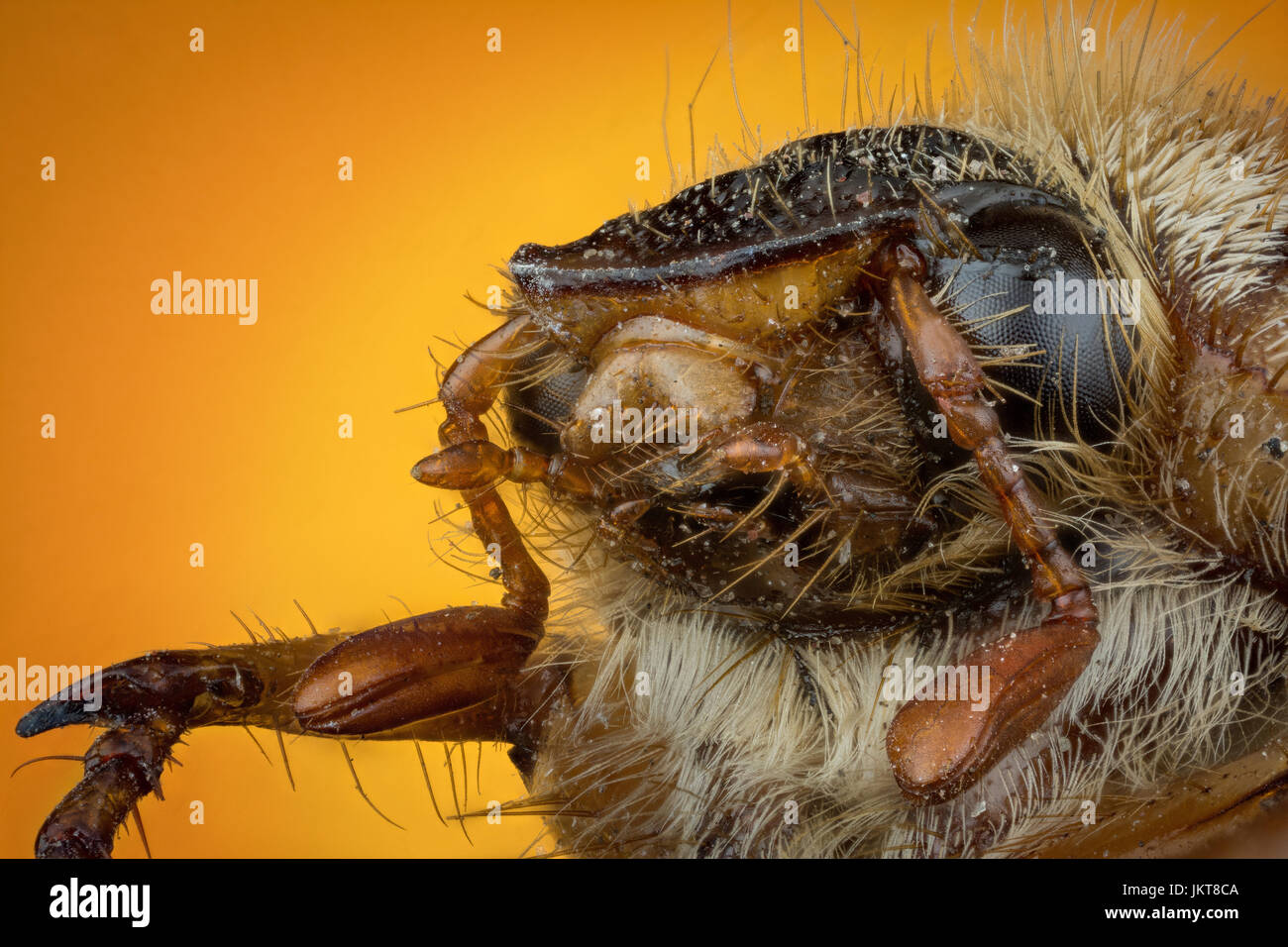 Head of Cockchafer on orange background macro or micro photography - Stock Image