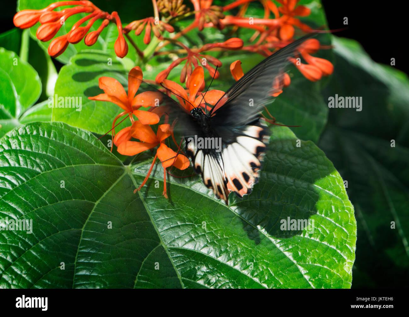 Butterfly ,Calgary Zoo - Stock Image