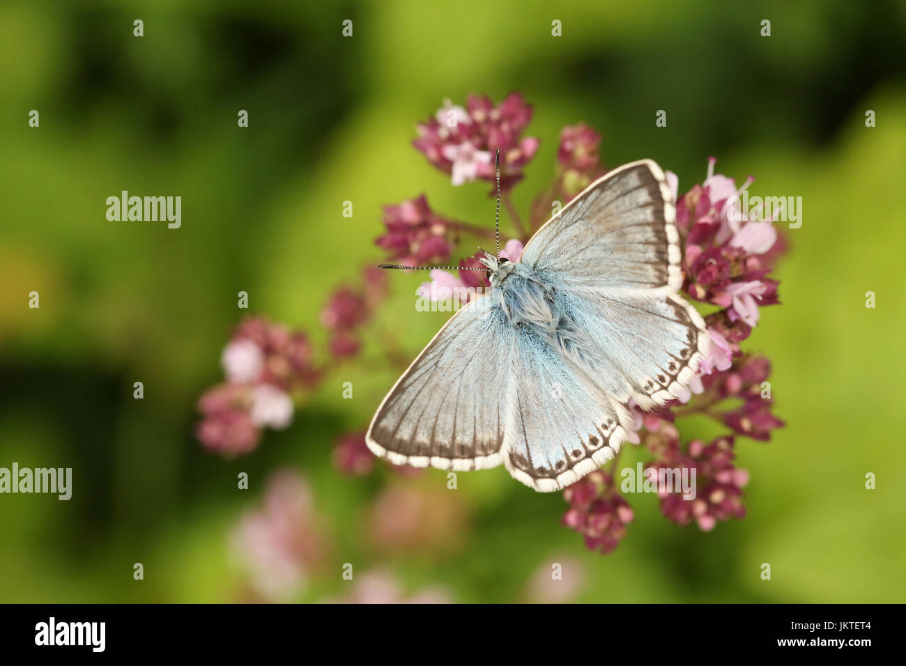 A pretty Chalk Hill Blue Butterfly (Polyommatus coridon) nectaring on a flower. - Stock Image