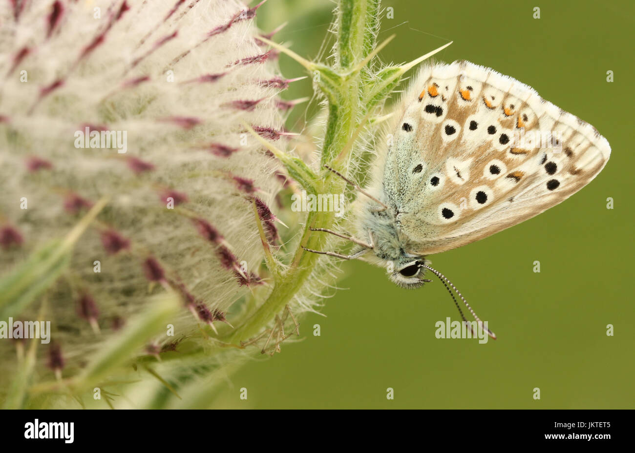 A pretty Chalk Hill Blue Butterfly (Polyommatus coridon) perched on a thistle flower. - Stock Image