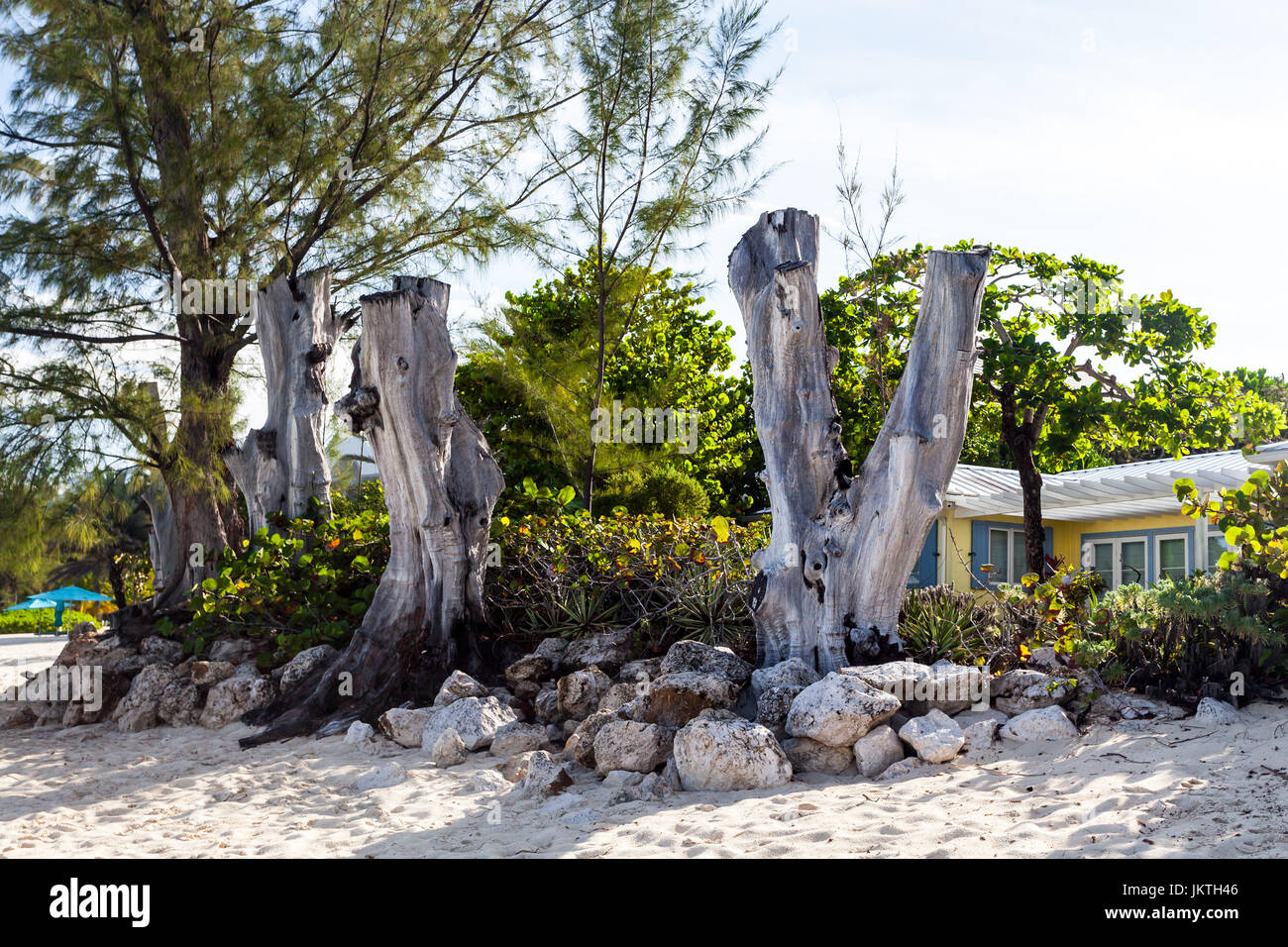 Dead trees at the edge of the Seven Mile beach Grand Cayman, vegetative process - Stock Image