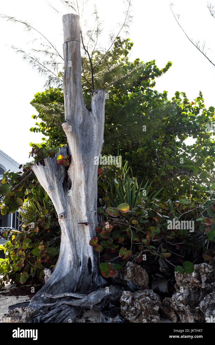 Dead tree at the edge of the Seven Mile beach Grand Cayman, vegetative process - Stock Image