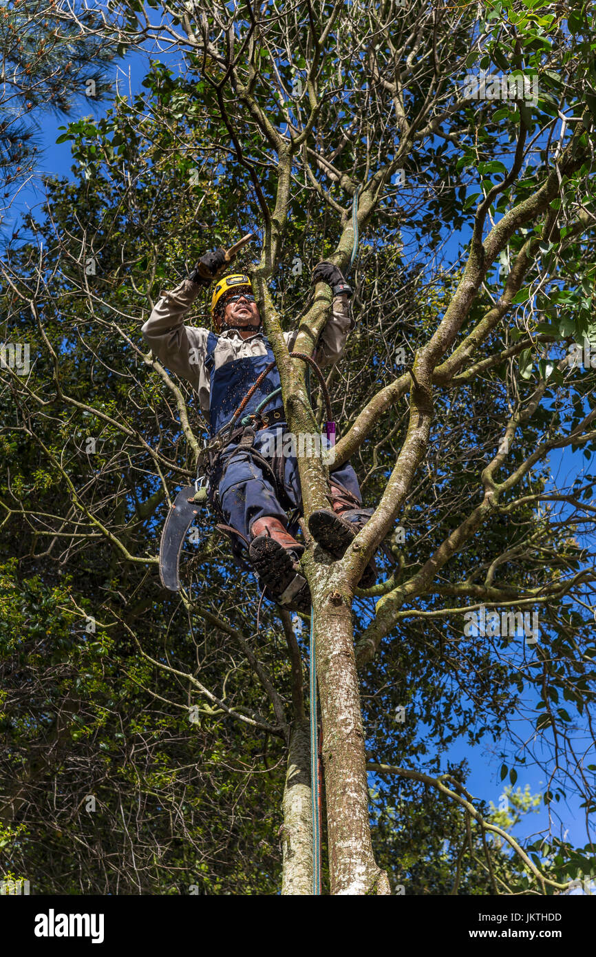 tree trimmer, tree branch trimmer, trimming tree branch, privet tree, tree care, lumberman, city of Novato, Marin - Stock Image