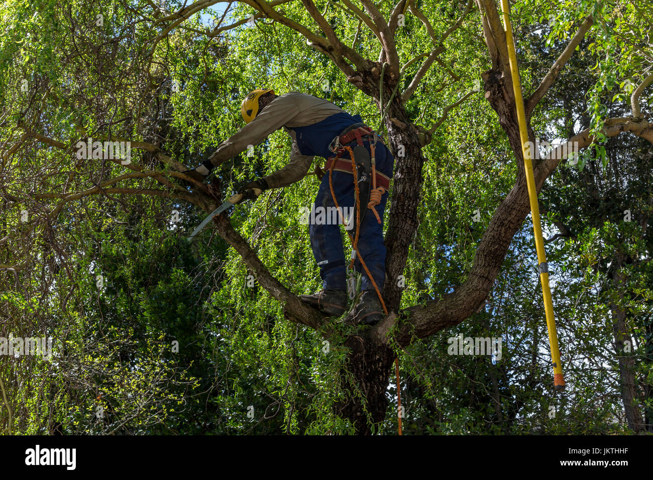 tree trimmer, tree branch trimmer, trimming tree branch, Corkscrew Willow tree, tree care, lumberman, city of Novato, - Stock Image
