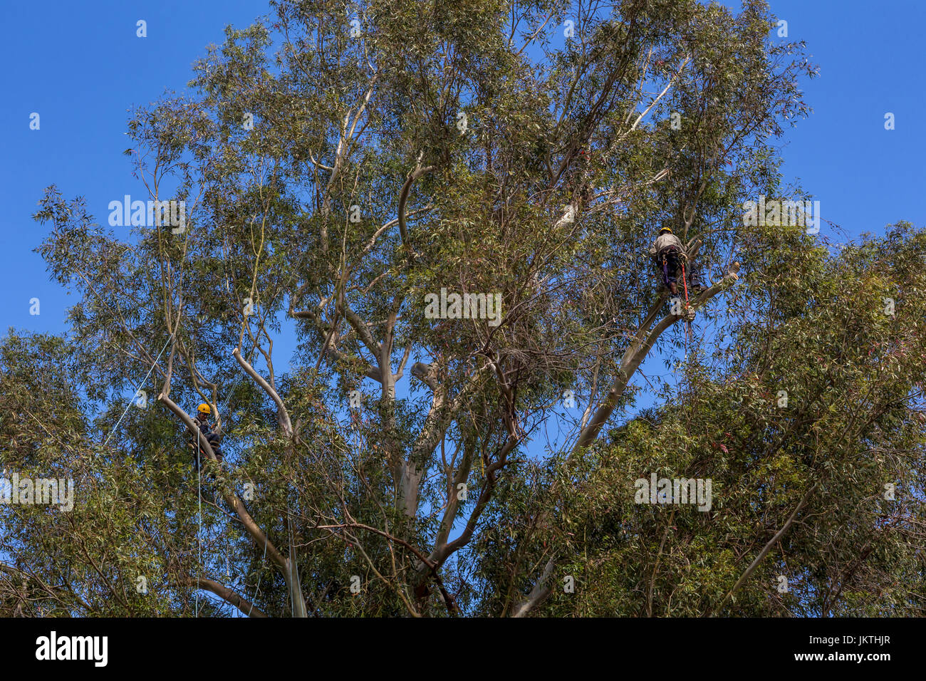 tree trimmer, tree branch trimmer, trimming tree branch, blue-gum eucalyptus tree, tree care, lumberman, city of - Stock Image