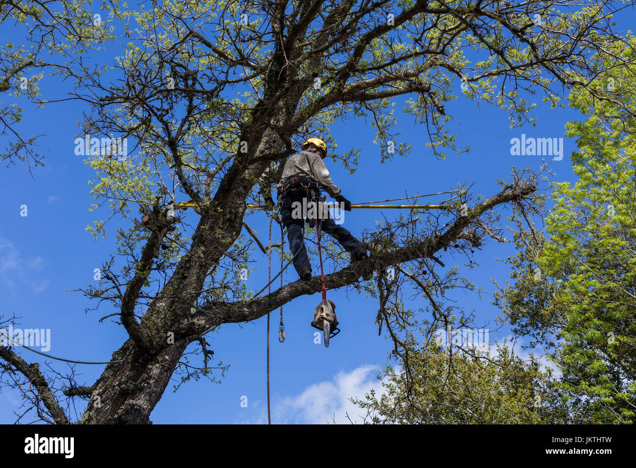 tree trimmer, tree branch trimmer, trimming tree branch, Valley Oak tree, tree care, lumberman, city of Novato, - Stock Image
