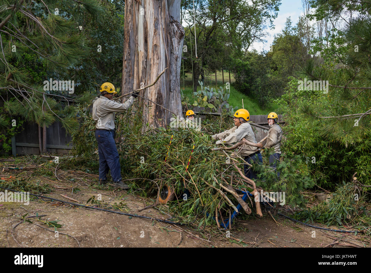 tree trimmers, tree branch trimmers, trimming tree branch, blue-gum eucalyptus tree, tree care, lumberman, city - Stock Image