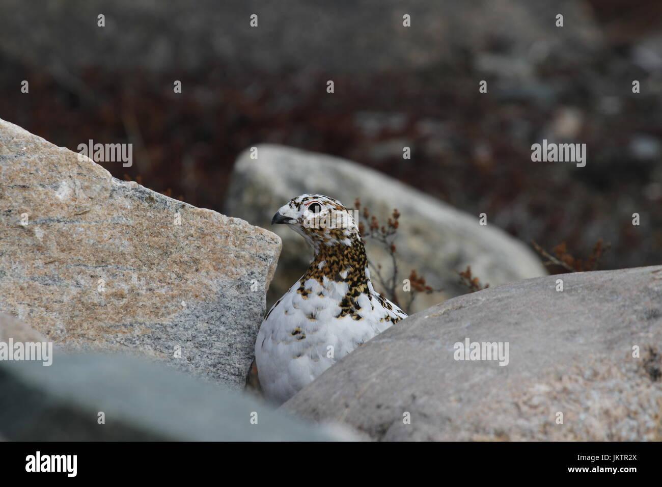 Rock Ptarmigan (Lagopus Muta) hiding among rocks showing the start of summer colours, near Arviat, Nunavut - Stock Image