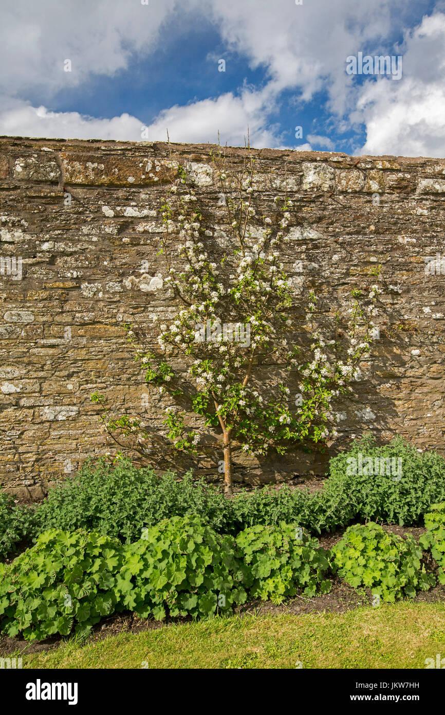 Apple tree grown as an espalier against high brick wall in English ...