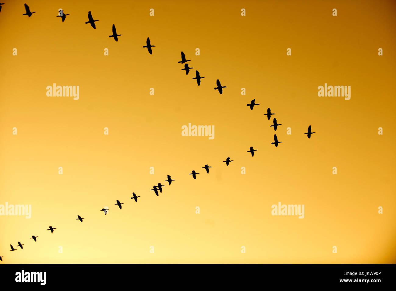 Aegypten, Assuan, Kormorane im Formationsflug über dem Niltal - Stock Image