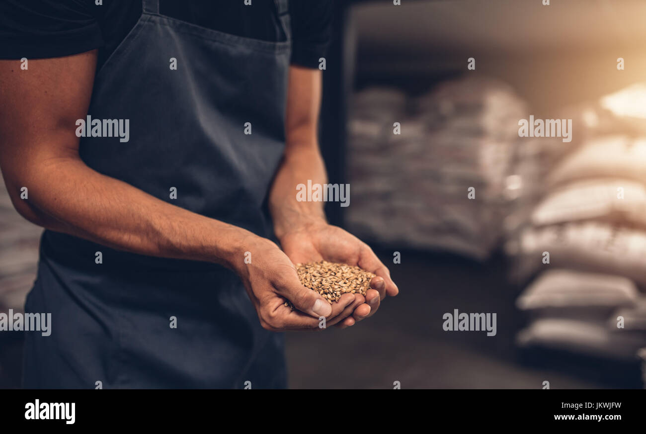 Close up shot of hands of master brewer with barley seeds. Employee examining the barley at brewery factory. - Stock Image