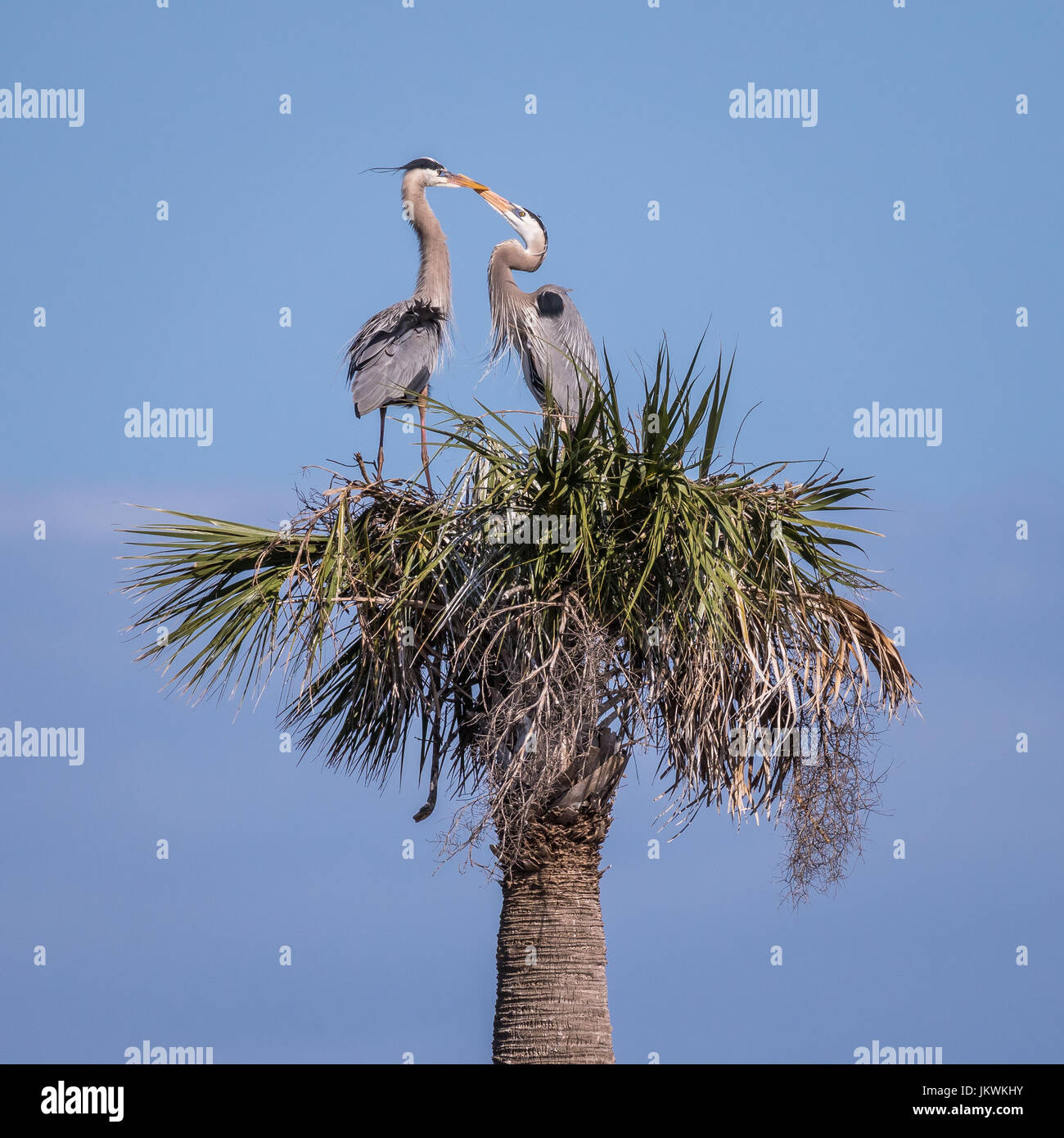 These great blue herons crossing bills were building a nest on top of a palm tree in the Viera Wetlands in Florida, - Stock Image
