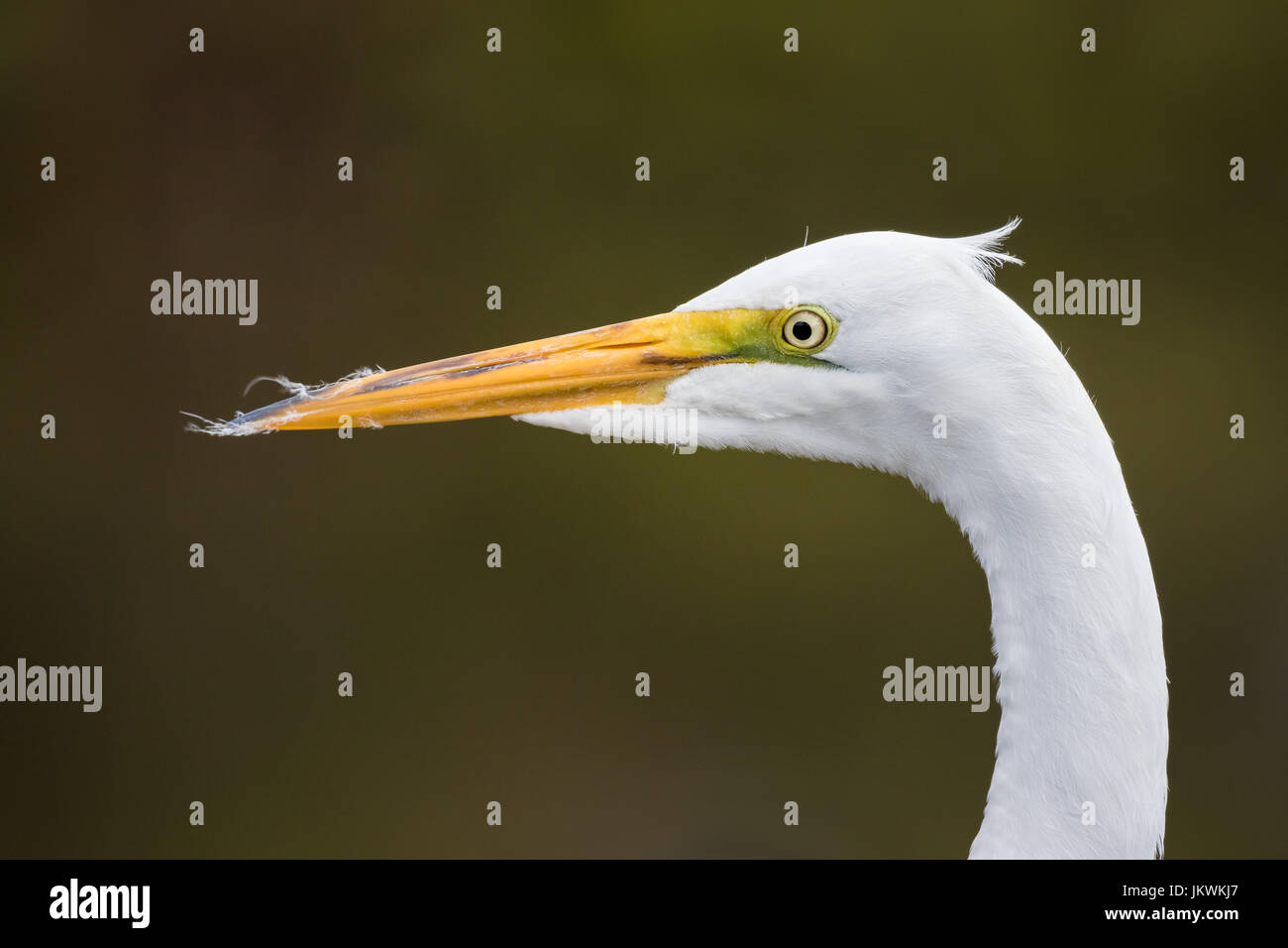 This close-up portrait of a wild great egret was taken in March at Gatorland in Florida, USA. Stock Photo