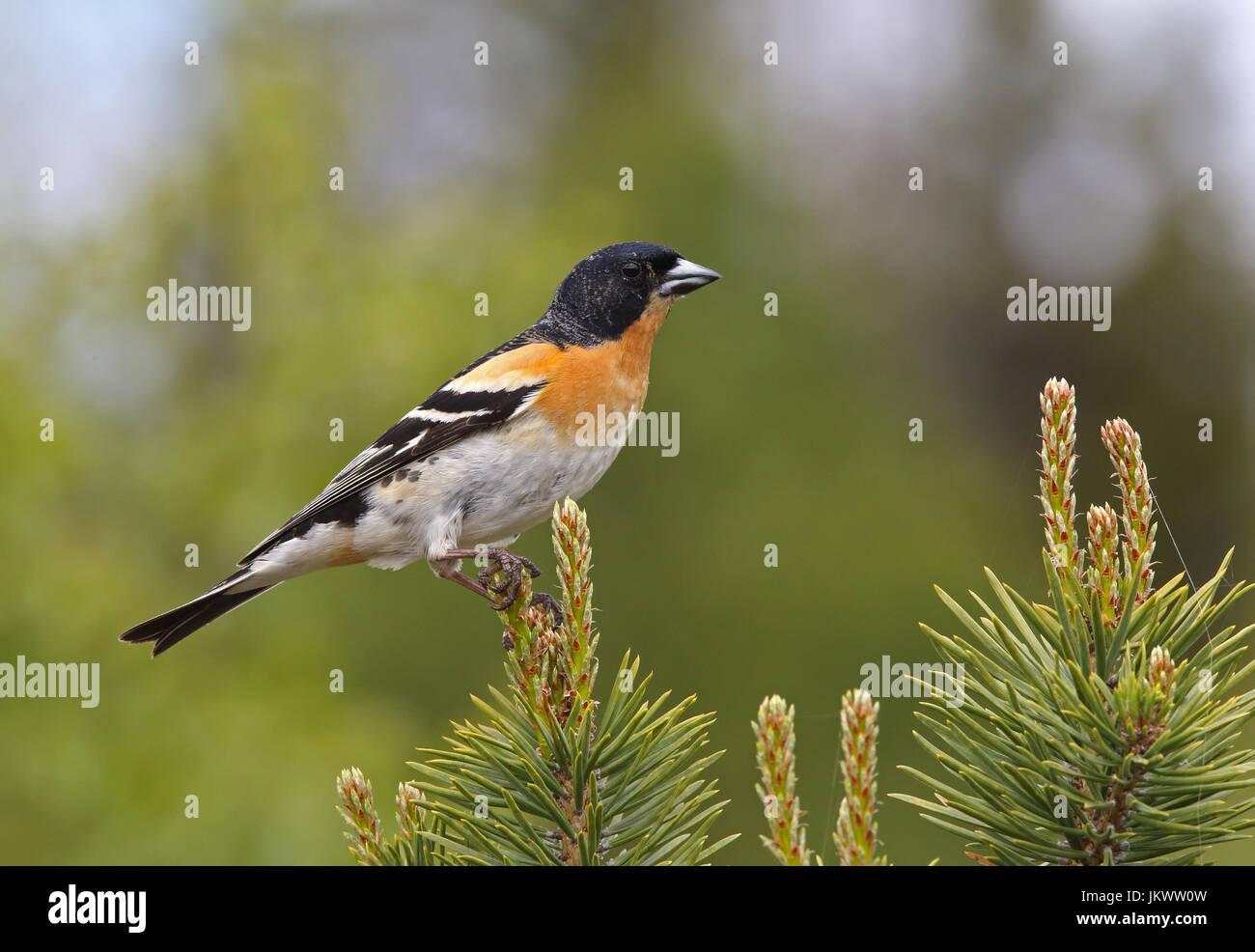 Brambling (Fringilla montifringilla) - Stock Image