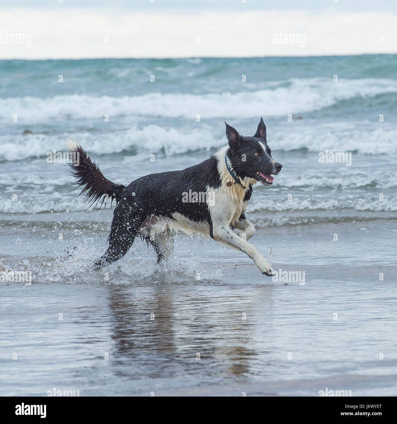 border collie in sea - Stock Image
