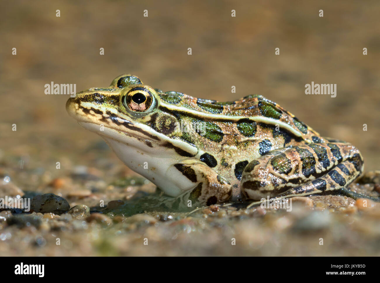 Northern leopard frog (Lithobates pipiens) near water stream, Ledges State Park, Iowa, USA. - Stock Image