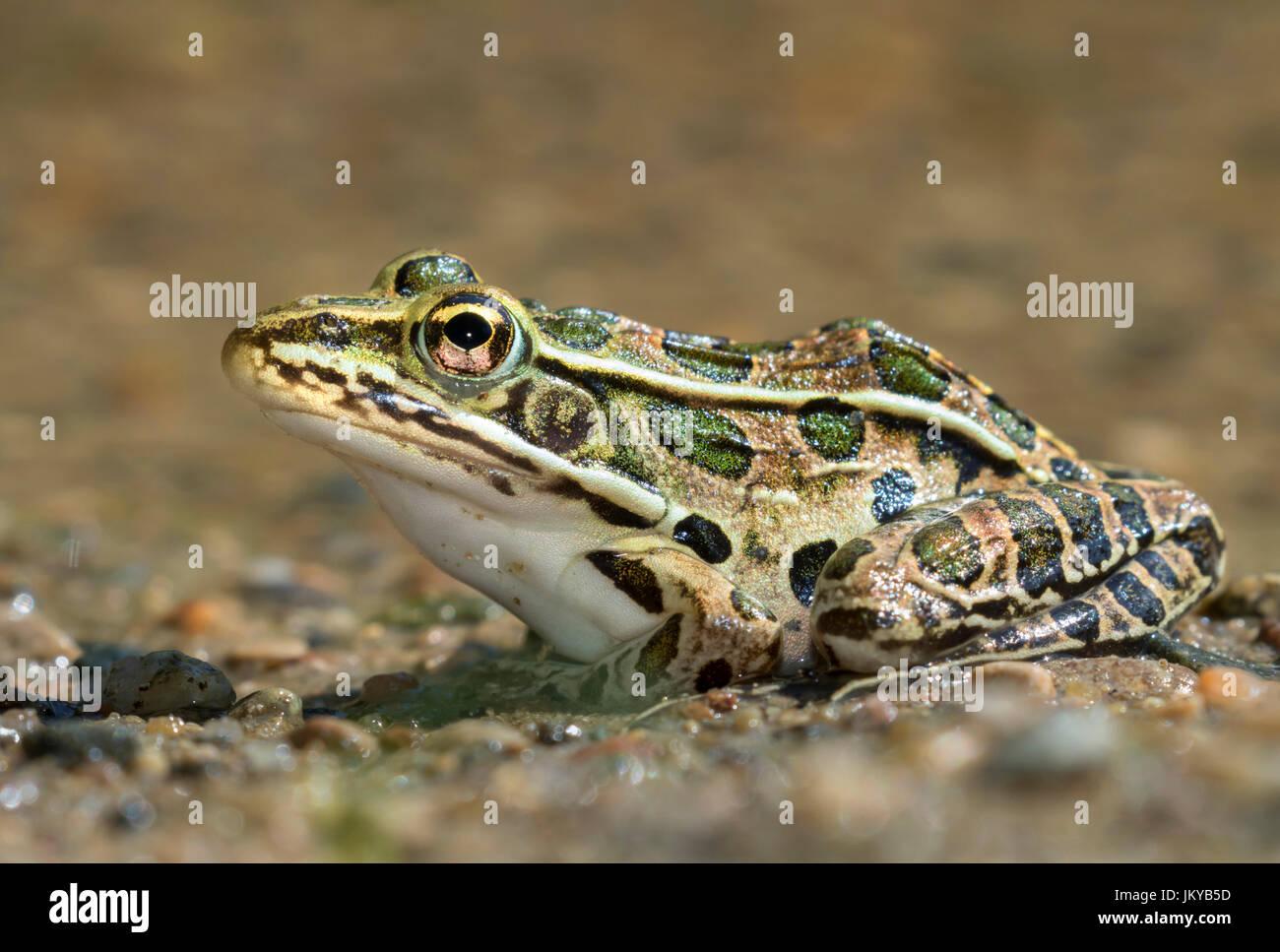 Northern leopard frog (Lithobates pipiens) near water stream, Ledges State Park, Iowa, USA. Stock Photo