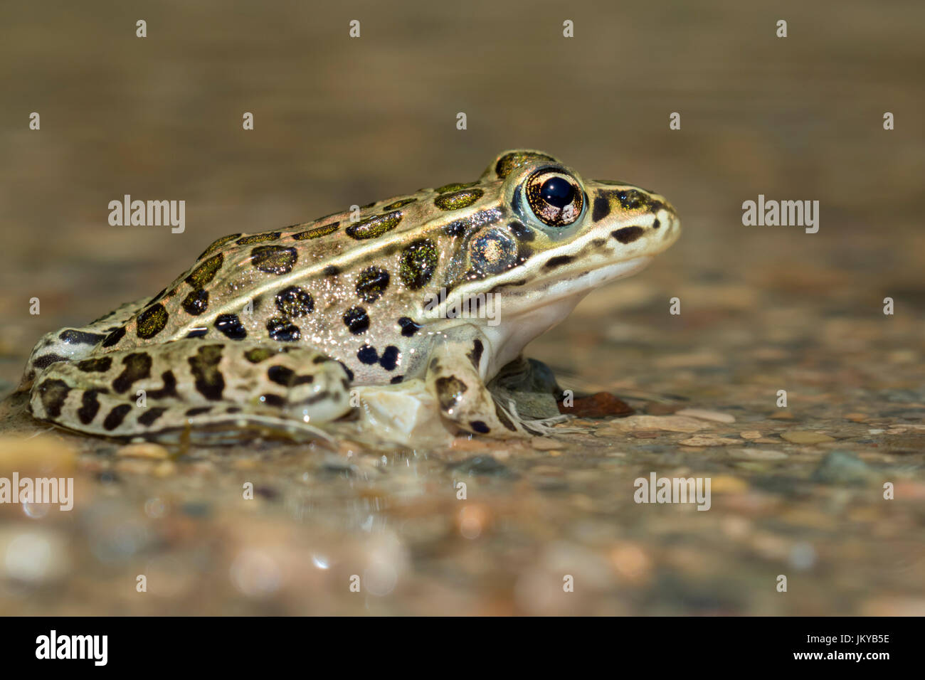 Northern leopard frog (Lithobates pipiens) in water stream, Ledges State Park, Iowa, USA. Stock Photo