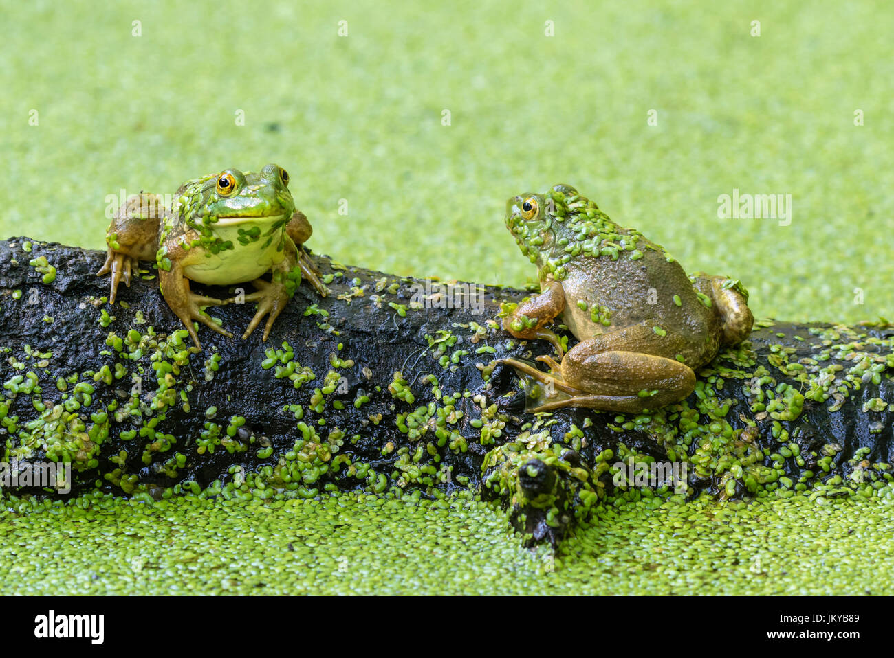 Two American bullfrogs (Lithobates catesbeianus or Rana catesbeiana) seating on rotten wood in a lake covered by - Stock Image