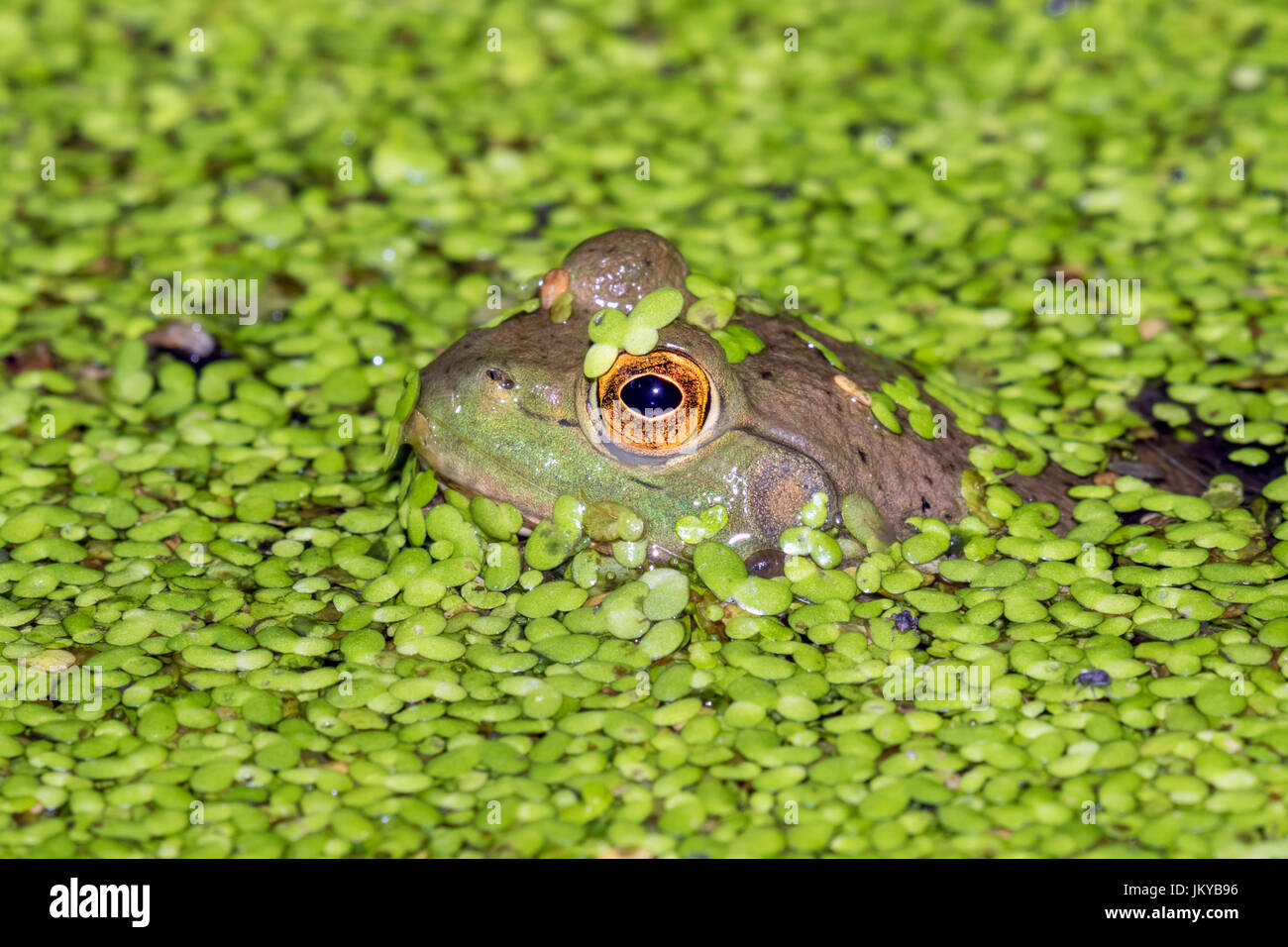 American bullfrog (Lithobates catesbeianus or Rana catesbeiana) looking through duckweed in a lake, Ledges State - Stock Image