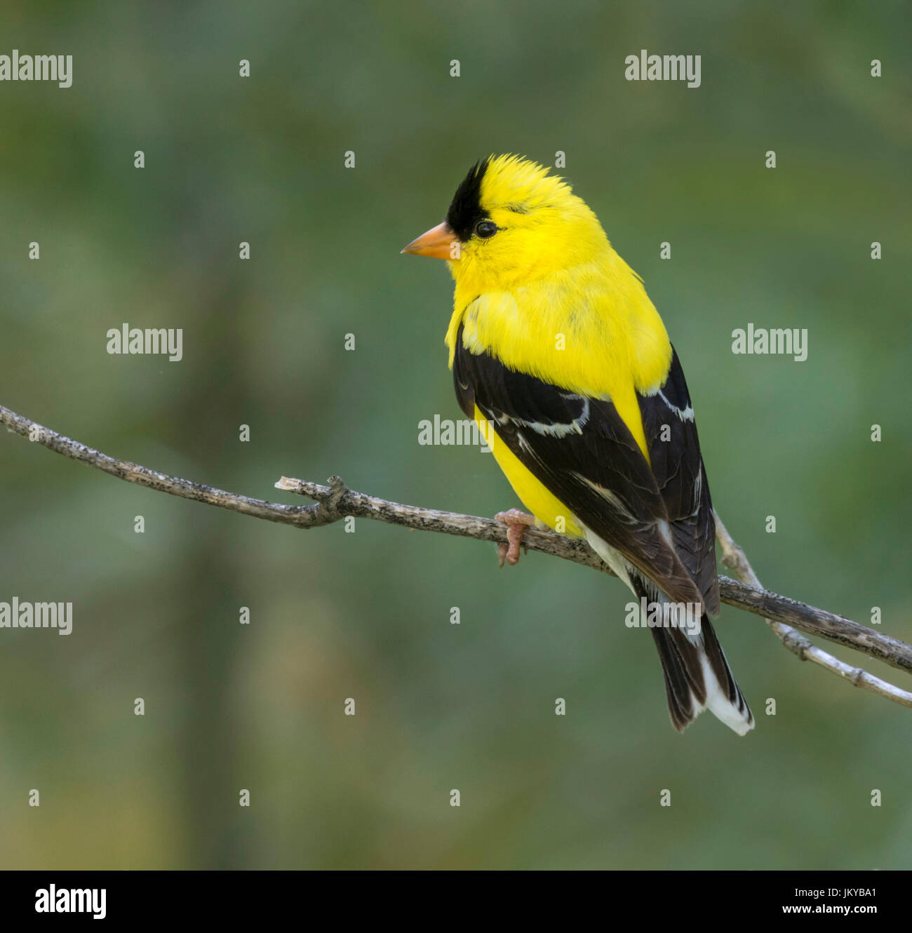 American goldfinch (Carduelis tristis) on a branch, Ames, Iowa, USA - Stock Image