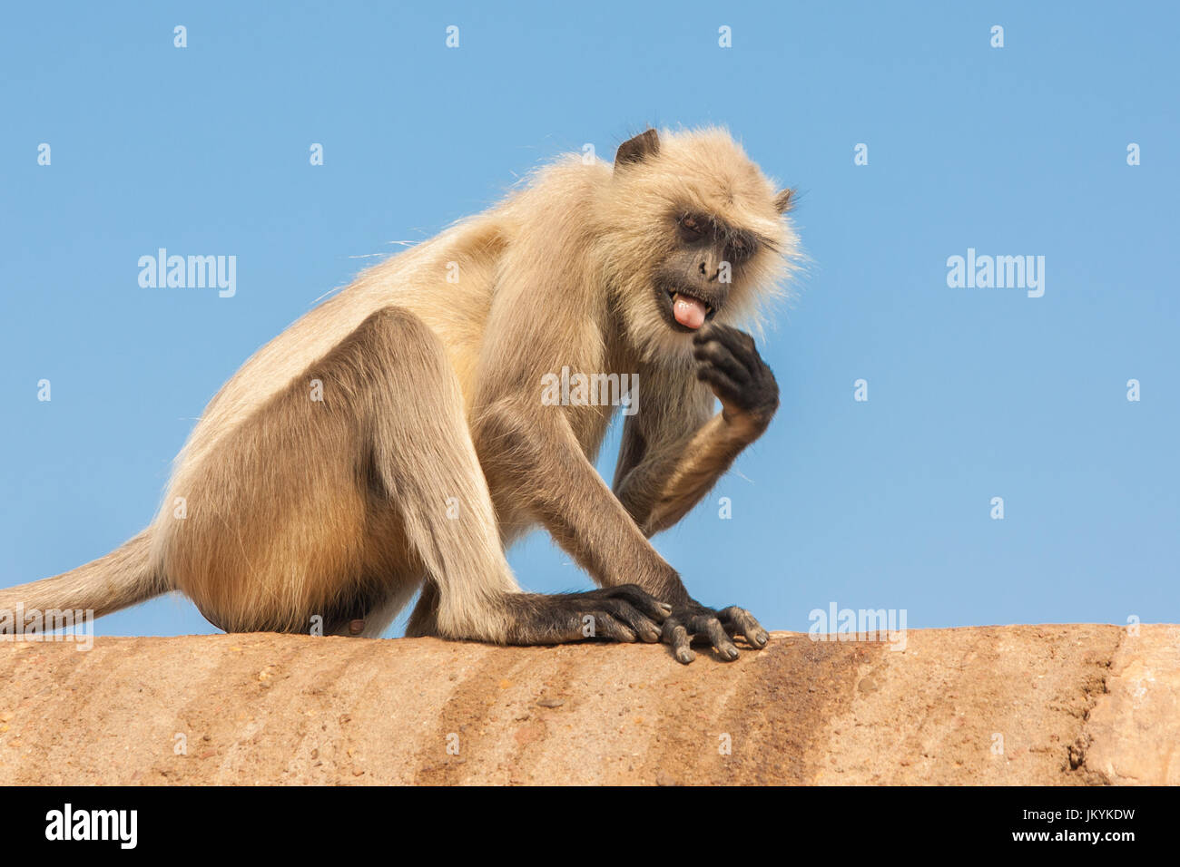 Gray langurs or Hanuman langurs, the most widespread langurs of the Indian Subcontinent, are a group of Old World - Stock Image