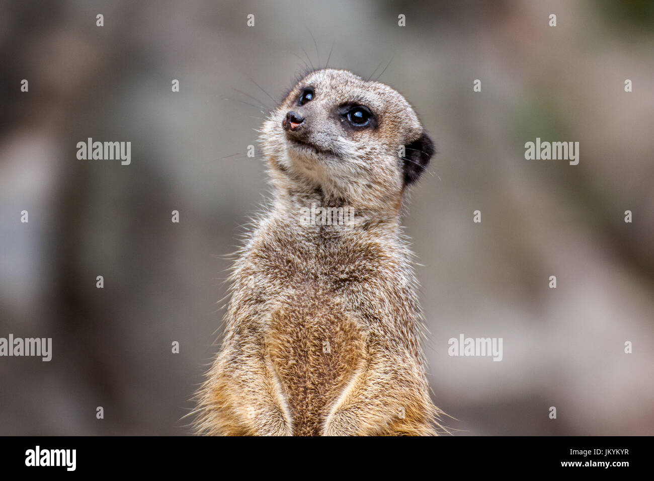 The meerkat or suricate is a small carnivoran belonging to the mongoose family. It is the only member of the genus - Stock Image