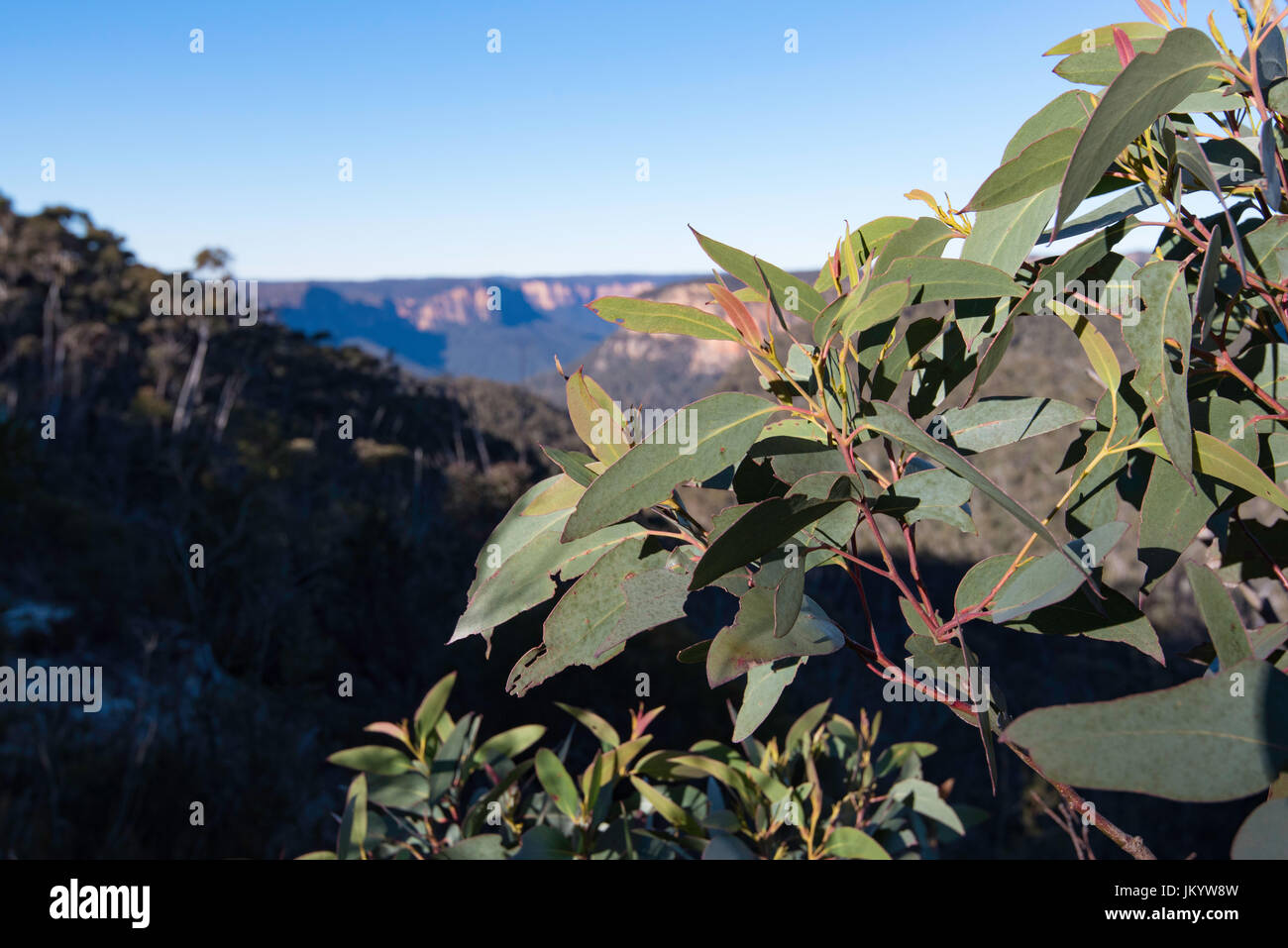 The blue mountains in NSW, Australia with Eucalypt leaves in the foreground. - Stock Image