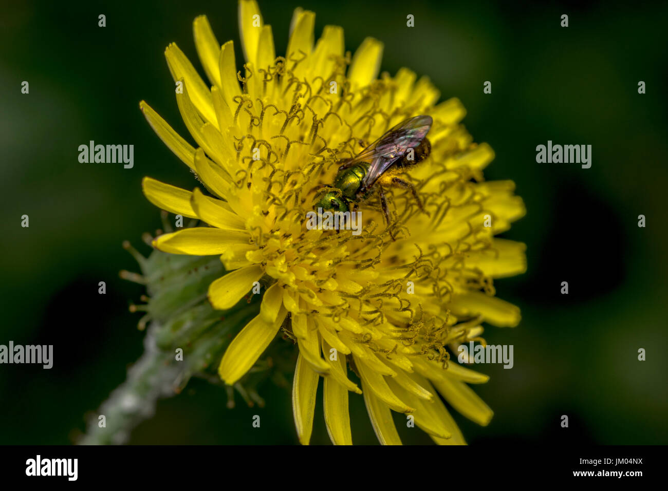Agapostemon sweat bee pollinating a yellow flower - Stock Image