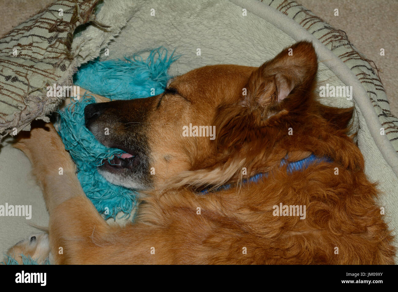 Mixed breed dog with shaved leg sleeping with her toy still in her mouth in her dog bed after busy day - Stock Image