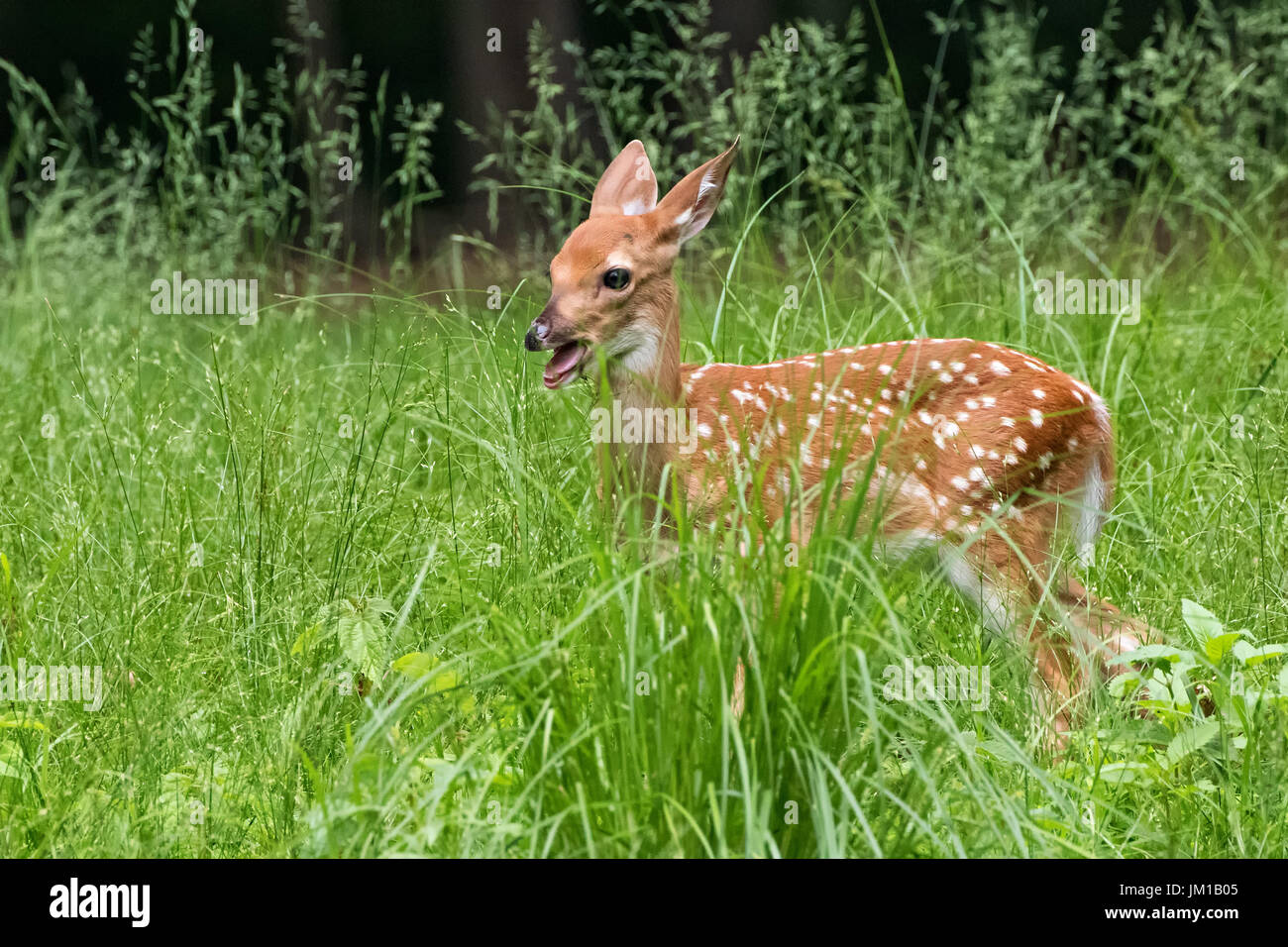 Fawn Bleating - Stock Image