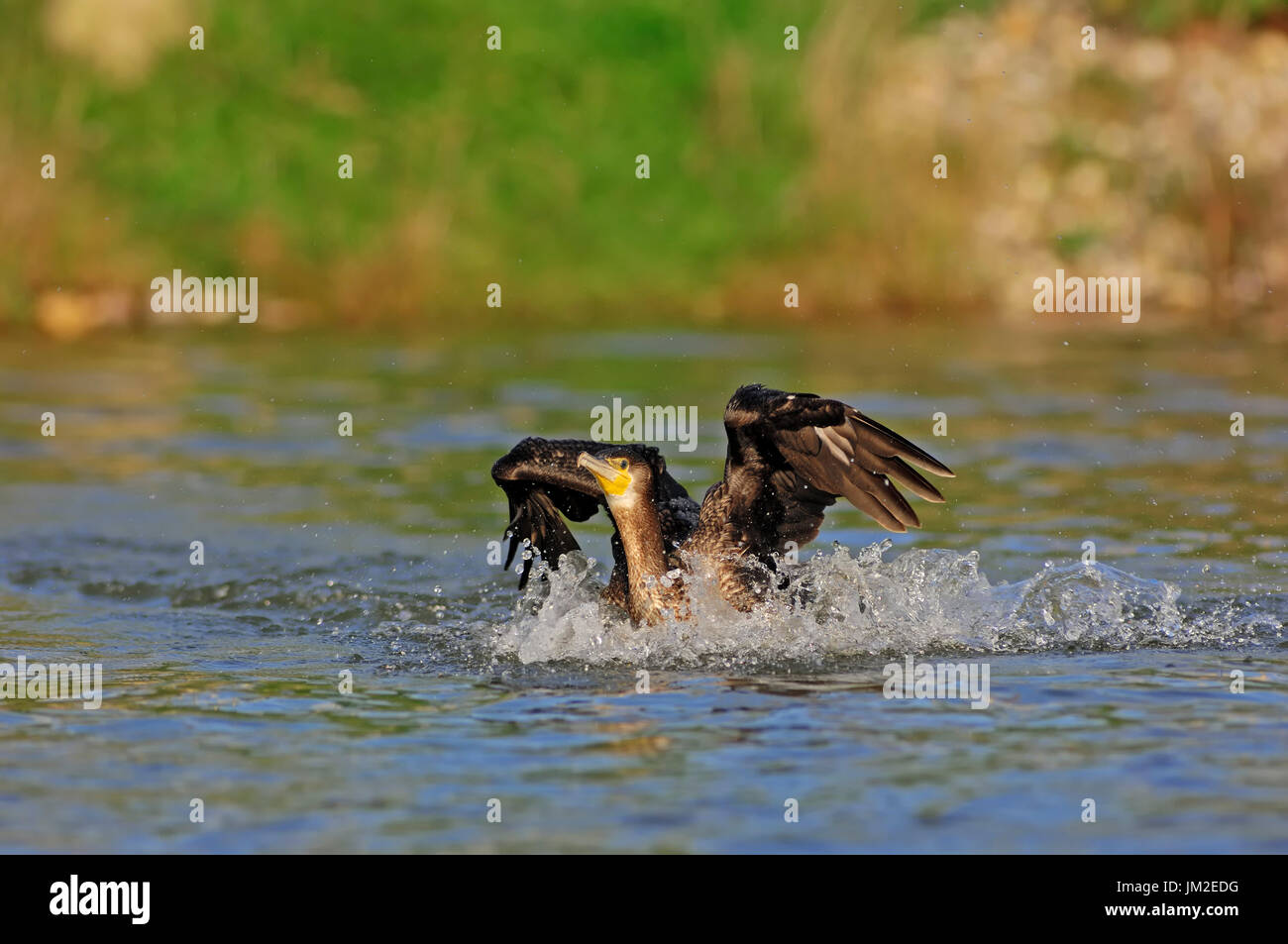 Great Cormorant, landing, North Rhine-Westphalia, Germany / (Phalacrocorax carbo) | Kormoran, landend, Nordrhein-Westfalen, Deutschland - Stock Image