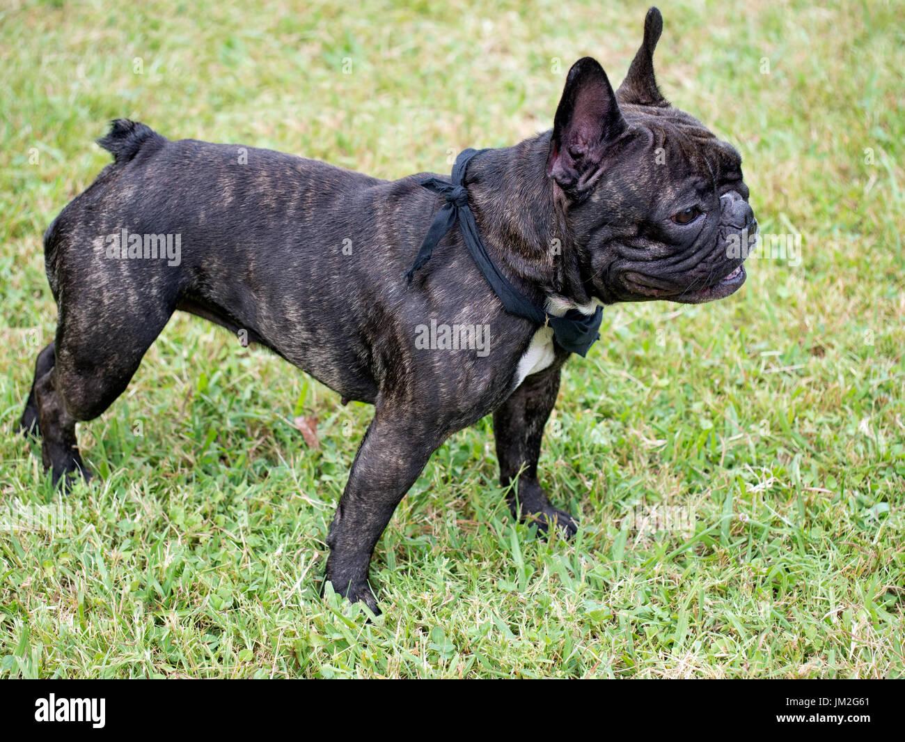 Pug.Brachycephalic. Health issue. Stock Photo
