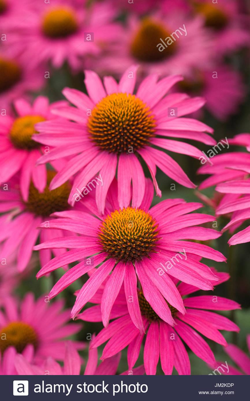 Echinacea 'Pink Shimmer'. - Stock Image