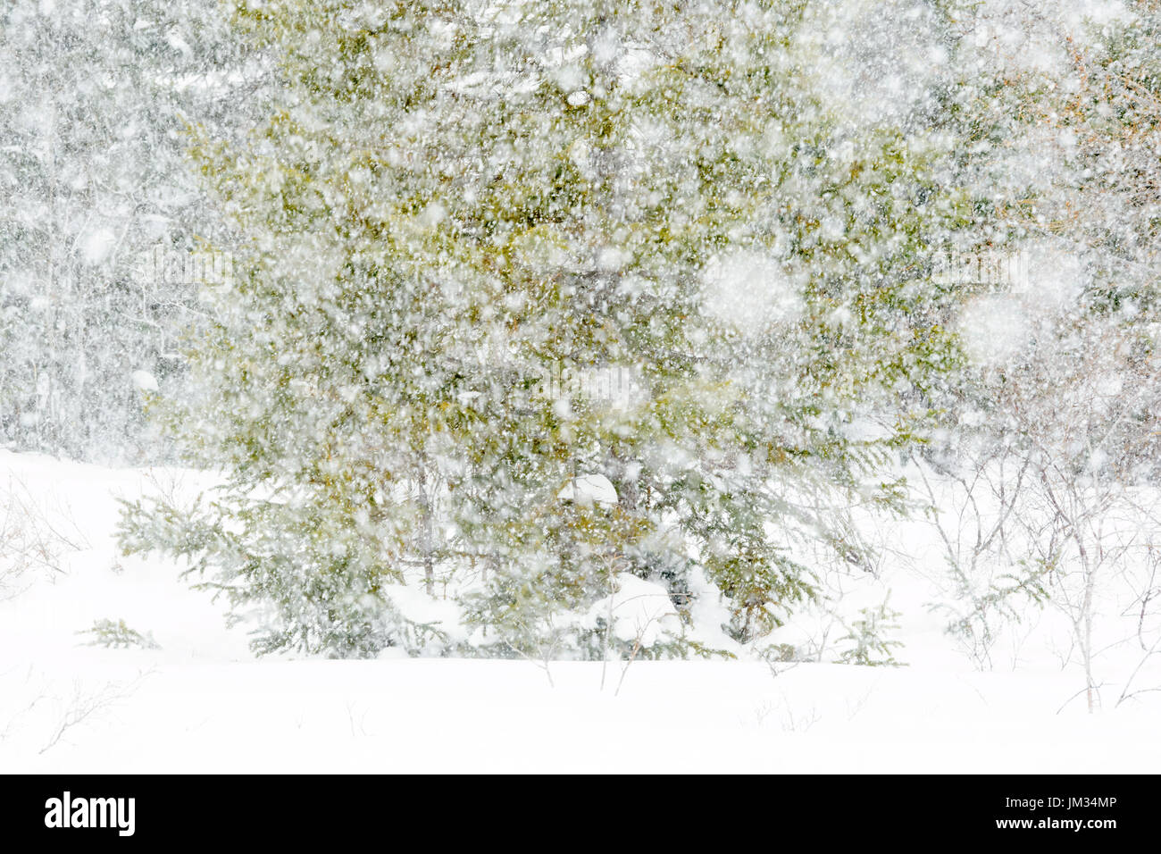Blizzard with heavy snowfall in taiga forest, wapusk national park, Manitoba, Canada. - Stock Image