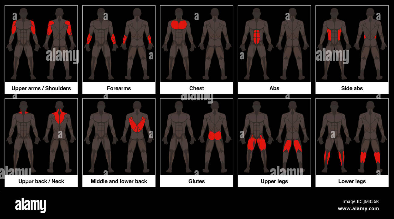 Muscle chart - male body, frontal and back view with highlighted red ...